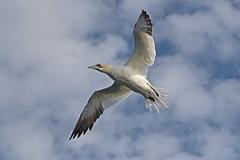 Gannet (drbut) Tags: gannet morusbassanus avian seabird fish sea northsea bempton yorkshire wildlife nature
