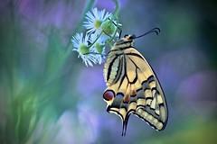 Tender memory of summer (sylviafurrer) Tags: schmetterling schwalbenschwanz swallowtail butterfly papiliomachaon makro macro macrodreams flower blume bokeh