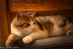 _DSC2441 (Pascal Rey Photographies) Tags: chat cat gatto katze animaux animalerie animales animals animali tiere sieste pascalrey nikon d700 luminar3 skylum pascalreyphotographies