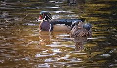 2433-1sm  Male and Female Wood Ducks (torriejonvik) Tags: