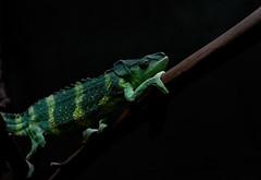 Meller's chameleon (Millie Cruz (On and Off)) Tags: mellerschameleon chameleon reptile animal green yellow blackbackground zoo smithsoniannationalzoo washingtondc lizard soe zoosofnorthamerica canoneosrebelt6i ef50mmf18stm milliecruz