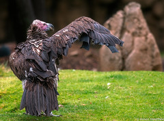 Put your right wing out and shake it all about (Robert Streithorst) Tags: beak bird cincinnatizoo feathers rightwing robertstreithorst vulture wing zoosofnorthamerica
