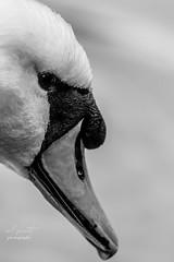 swan (Redplanetphotography) Tags: swan wildlife nature rspb closeup blackandwhite beak nikon d500 200500mm56 autumnwatch
