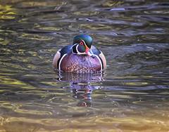 2454-1sm  Male Wood Duck (torriejonvik) Tags: