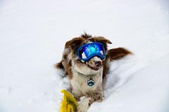 Photos (carson.morford) Tags: dog doggles snow
