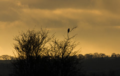 winter-late afternoon (tsd17) Tags: landscape tree buzzard sky canon uk nature sunset