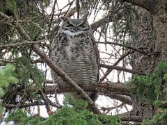 Great Horned Owl (annkelliott) Tags: nature bird owl greathornedowl