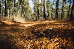 Roadside Shroom (reclaimednj) Tags: 2019 canon6d pinelands pinebarrens whartonstateforest