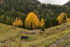 St. Anton - Tirol (Ernst_P.) Tags: aut herbst landschaft laub österreich stanton stantonamarlberg tirol wald sony zeiss distagon 24mm f20 autumn fall landscape paisaje otoño caballo horse pferd