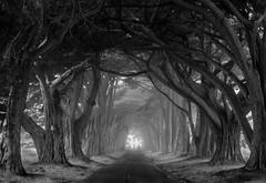 Cypress tunnel (jbrad1134) Tags: bw california trees black tunnel cypress white northern san francisco travel moody mist fog spooky roads nature landscape fuji fujifilm xt3 amazing local