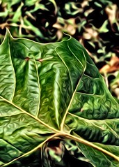 Sycamore leaves (Noel C. Hankamer) Tags: sycamore leaves green effects veins