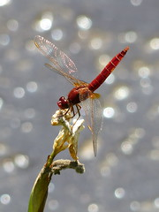 Scarlet Dragonfly - Feuerlibelle (anne.w.51) Tags: dragonflies