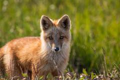 Red Fox (Dan King Alaskan Photography) Tags: redfox fox vulpesvulpes foxkit tundra wildlife wilderness protectwildlife preservewilderness predator arctic alaska canon80d sigma150600mm