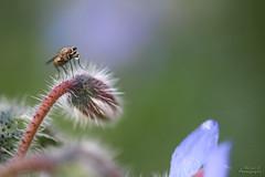 Mouche & bulle (Mariie76) Tags: animaux nature macro macrophotographie insecte diptère mouche bulle régurgitation fleur bleue bourrache novembre froid