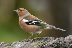 Chaffinch (Les Kinder) Tags: chaffinch fringillacoelebs britishbirds britishwildlife