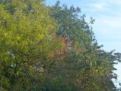Trees are changing Colours (river crane sanctuary) Tags: trees rivercranesanctuary nature mol hedge
