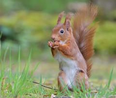 Red Squirrel (KHR Images) Tags: redsquirrel red squirrel sciurusvulgaris wild rodent mammal dumfriesandgalloway scotland wildlife nature nikon d500 kevinrobson khrimages