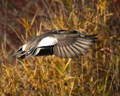 American Wigeon (Brian Rockwell) Tags: wigeon american commonwealth lake oregon usa