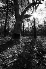 Martha's Furnace tree (reclaimednj) Tags: 2019 canon6d pinelands pinebarrens whartonstateforest