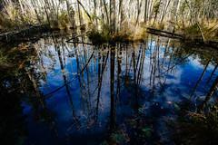 Cedar bog (reclaimednj) Tags: 2019 canon6d pinelands pinebarrens whartonstateforest