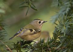 Goldcrest (regulus regulus) (Steve Ashton Wildlife Images) Tags: goldcrest crest regulus regulusregulus