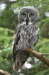 Great grey owl - Naturzoo Rheine (Mandenno photography) Tags: animal animals dierenpark dierentuin dieren duitsland germany greatgrey owl owls ngc nature bird birds birdofprey natgeo natgeographic naturzoo zoo bbcearth bbc discovery