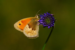 Coenonympha pamphilus (16) (JoseDelgar) Tags: insecto mariposa coenonymphapamphilus 425858148733067 josedelgar naturethroughthelens ngc coth5 npc alittlebeauty