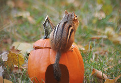 ~Reflecting...Looking back.~ (nushuz) Tags: adorable mschip reflecting dof autumn vt ontopofapumpkin chippie chipmunk willmissher untilspring she has enough food stored for ten wintrs shesstoredenoughfoodfor10winters lotsofphotostoshare leaves
