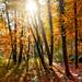 Blinding Autumn through the trees