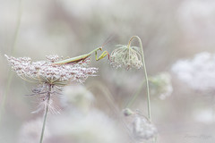 """""""Nouveau support trouvé"""" (regisfiacre) Tags: mante religieuse praying mantis religiosa mantodea mantidae polyneoptera mantoptère bokeh insect insecte insekt bug bugs nature sauvage wild wildlife macro macrophoto macrophotography macrophotographie canon 5div mark iv 4 plein format full frame sigma 150mm apo ex dg os hsm moselle france faune fauna"""