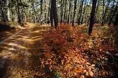 Vibrant Understory (reclaimednj) Tags: 2019 canon6d pinelands pinebarrens whartonstateforest