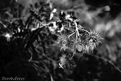 Fui vida (alanchanflor) Tags: canon exterior bn bw monocromo flor muerte silvestre otoño tristeza