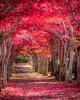 Red Carpet (robokoppi 49) Tags: 紅葉 平岡樹芸センター 札幌 北海道 日本 autumnleaves sapporo hokkaido japan happyplanet asiafavorites