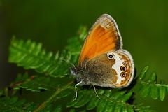 Coenonympha arcania (JoseDelgar) Tags: insecto mariposa coenonymphaarcania 426263747894490 josedelgar naturethroughthelens coth coth5 sunrays5 alittlebeauty ngc npc