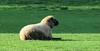 Farm life (Elisa1880) Tags: dier animal farm boerderij schaap sheep leidschendam voorschoten nederland netherlands