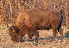 American Bison (Lindell Dillon) Tags: bison buffalo wildlife wichitamountainswildliferefuge oklahoma wildoklahoma nature conservation