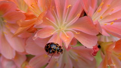 A Dusting of Pollen (Lani Elliott) Tags: bug beetle ladybird ladybug spotted commonspottedladybird lewisia flower flowers orange pink homegarden garden petals pollen pretty delicate macrounlimited macro upclose closeup bokeh colour colourful nature naturephotography insectonflowers flowerswithinsects lanielliott radiant glow glowing light bright