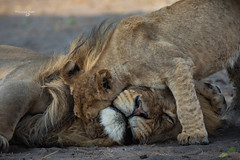 Zimbabwe Wange National Park (Francesca Bullet) Tags: hwange africa zimbabwe safari love puppies puppy lion lions baby mammal mane details animals animal wild wildlife wildanimal wildfree wildnature wildness naturewild lights