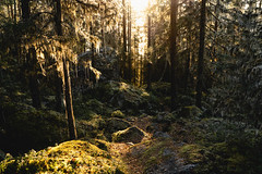 Cold day in the forest (thedrowsy) Tags: nature troll forest fairy faries norrland scandinavia norr north sweden sverige swe svensk 35mm landscape forests beauty mood moody tones a7riii sony alpha jämtland