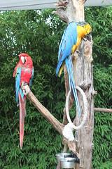 Colorful Parrots (♥ Corry ♥) Tags: oliemeulen parrot papegaai bird vogel kleuren kleurrijk colors colorful animal dieren