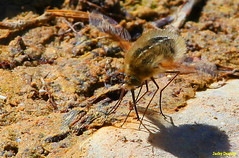 Le grand bombyle (jacky.dartier) Tags: insecte nature