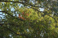 Autumn Looking Up (Modkuse) Tags: fall fallcolors fallcolor autumn autumnleaves trees nature natural art artphotography artistic artisticphotography natureart photoart provia fujiprovia xt2proviasimulation fujifilmxt2provia fujifilmxt2proviasimulation colorful colors color vibrantcolor fujifilm fujifilmxt2 fujinon fujinonxf1855mmf284rlmois xf1855mmf284rlmois