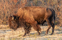 Plains Buffalo (Lindell Dillon) Tags: bison buffalo wildlife nature wichitamountainswildliferefuge oklahoma wildoklahoma