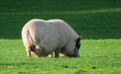 Farm life (Elisa1880) Tags: dier animal farm boerderij varken pig leidschendam voorschoten nederland netherlands