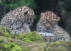 Mischief conference (muppet1970) Tags: colchesterzoo zoo amurleopard cubs cat bigcat stones moss cute endangered captive