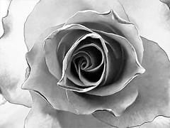 Rose - Black and White Beauty (Gilli8888) Tags: cameraphone samsung s7 northeast blackandwhite monochrome durham bishopauckland flower flora shadow light petals sthelenauckland