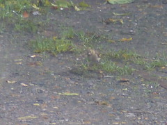 Chaffinch Spotted in Churchview (river crane sanctuary) Tags: chaffinch rivercranesanctuary nature wildlife churchview