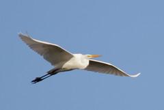_MG_2166 Great White Egret (sam.creighton) Tags: casmerodiusalbus flight wwt welney reserve norfolk bird egret greategret greatwhiteegret nature wildlife canon eos 7d ef400mm