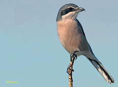 Alcaudón real (Lanius meridionalis) (80) (eb3alfmiguel) Tags: aves passeriformes insectívoros laniidae alcaudón real lanius meridionalis