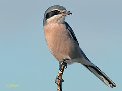 Alcaudón real (Lanius meridionalis) (79) (eb3alfmiguel) Tags: aves passeriformes insectívoros laniidae alcaudón real lanius meridionalis